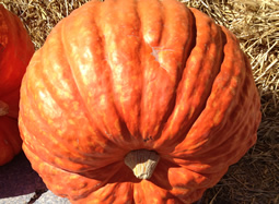 204 lbs GIANT Pumpkin Prize Winner